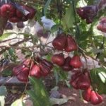 Jual Bibit Buah Jambu Air King Rose