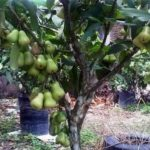 Jual Bibit Jambu Air Dalhari